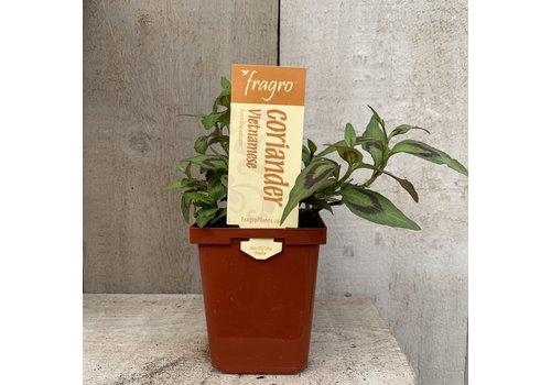 """Fragro Coriander Vietnamise 3.5"""" Herb"""