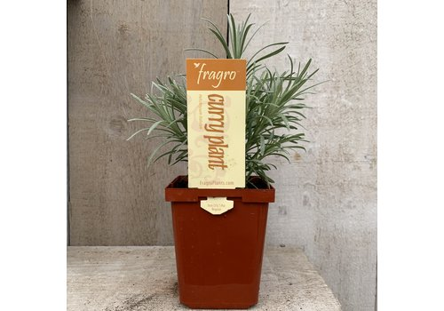 """Fragro Curry Plant 3.5"""" Herb"""