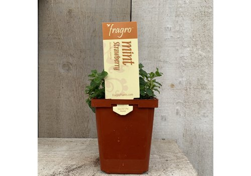 "Fragro Mint Strawberry 3.5"" Herb"