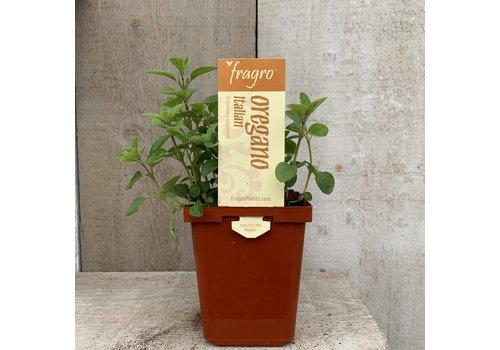 """Fragro Oregano Italian 3.5"""" Herb"""