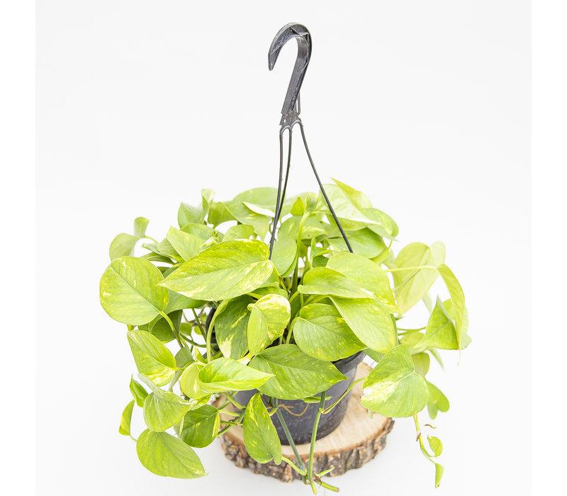 Golden Pothos Hanging Basket