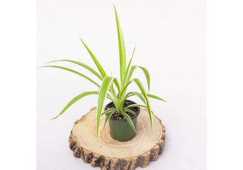 "Spider Plant Reverse Stripe 4"""