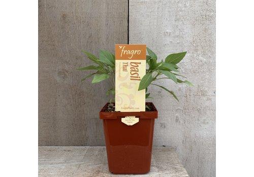 """Fragro Basil Thai 3.5"""" Herb"""