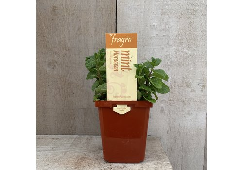 "Fragro Mint Moroccan Spearmint 3.5"" Herb"