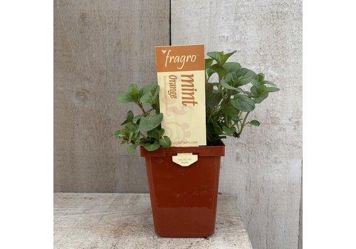 "Fragro Mint Orange 3.5"" Herb"