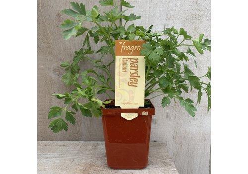"""Fragro Parsley Flat Leaf Italian 3.5"""" Herb"""