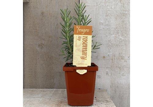 "Fragro Rosemary Arp 3.5"" Premium Herb"