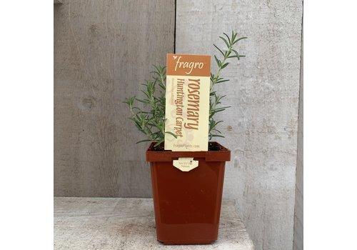 "Fragro Rosemary Huntington Carpet 3.5"" Premium Herb"