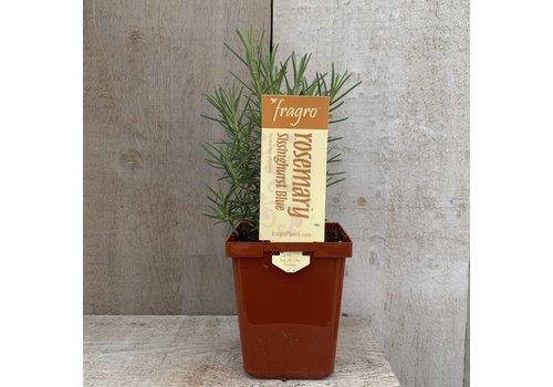 """Fragro Rosemary Sissinghurst Blue 3.5"""" Premium Herb"""