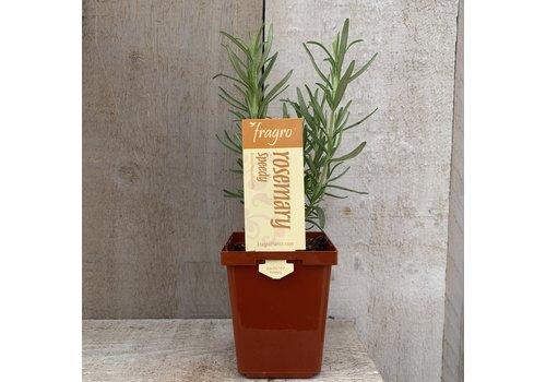 "Fragro Rosemary Speedy 3.5"" Premium Herb"