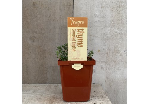 "Fragro Thyme Compact English 3.5"" Herb"