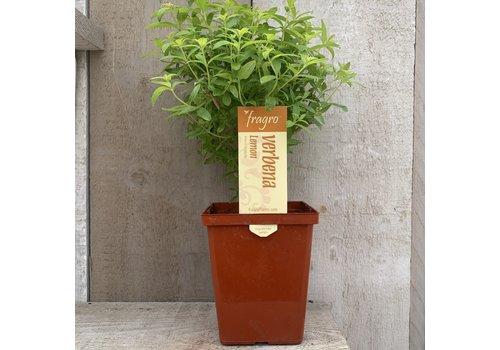 "Fragro Verbena Lemon 4.5"" Specialty Herb"