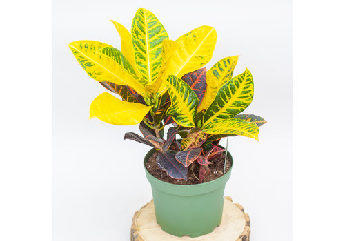 Dutch Growers Croton Petra