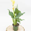 Dutch Growers Calla Lily