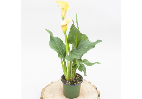 Dutch Growers Calla Lily 4""