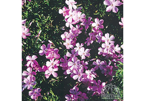 Phlox Creeping Emerald Pink 3.5""