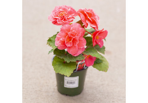 Dutch Growers Begonia Non Stop