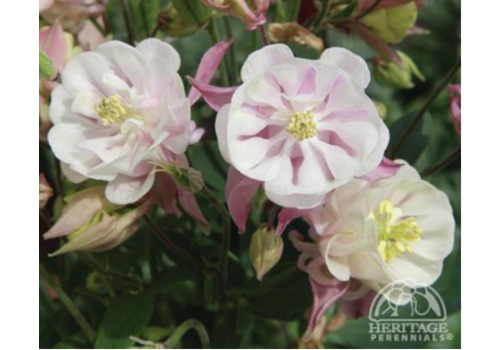 Columbine Winky Double Rose and White