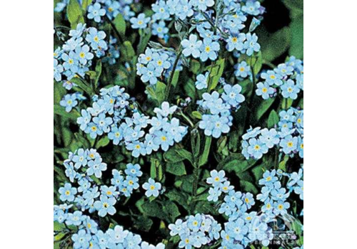 """Forget Me Not Victoria Blue 3.5"""""""