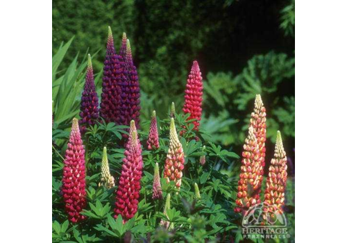 Lupine Woodfield Tall Mix 3.5""
