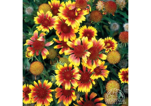 Blanket Flower Goblin 3.5""