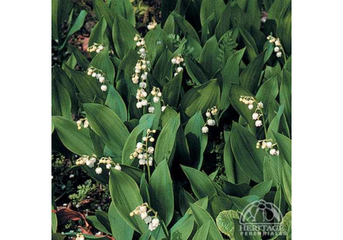 """Lily of the Valley 3.5"""""""