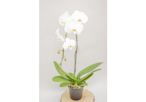 Dutch Growers Orchid