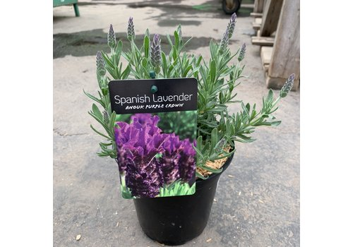 Lavender Anouk Purple Crown 6""