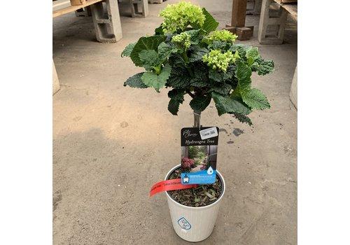"Hydrangea Standard Patio Pot 6"""