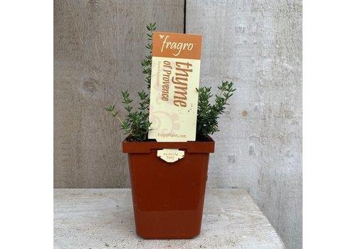 "Fragro Thyme Provence 3.5"" Herb"
