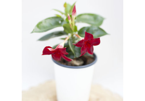 Dutch Growers Mandevilla