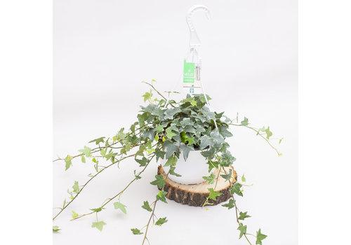 """English Ivy Green Hanging Basket 8"""""""
