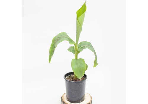 Banana Plant Green Foliage 1gal