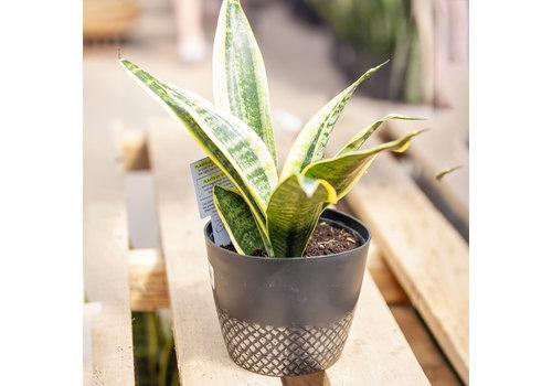 "Dutch Growers Snake Plant Laurentii Steel Pot 6"""