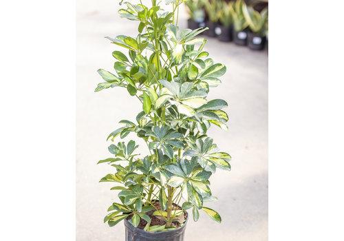 "Umbrella Plant Gold Capella Bush 10"""