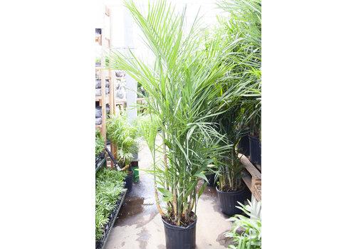 "Bamboo Palm 10"""
