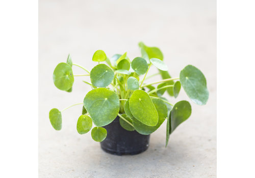 Dutch Growers Chinese Money Plant