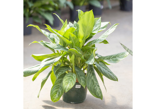 Dutch Growers Chinese Evergreen Silver Bay