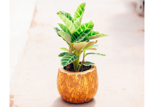 Dutch Growers Princess Z Potted Calathea Zebrina