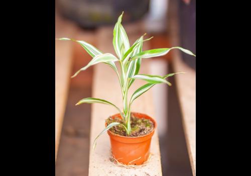 "Dutch Growers Dracaena Ribbon Plant 2.25"""