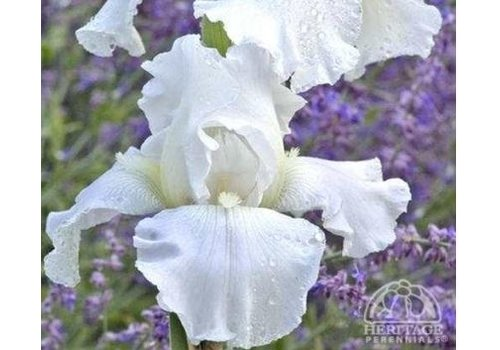 Iris German Immortality White 5.5""