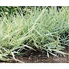 Grass Ribbon