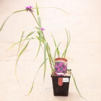 """Spiderwort Concord Grape 4.5"""""""