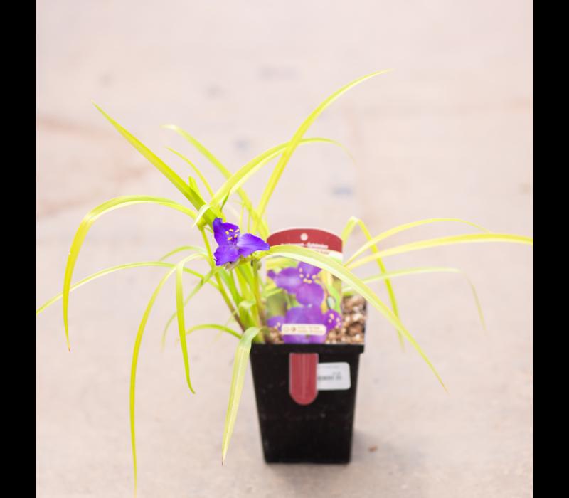 "Spiderwort Sweet Kate 4.5"""