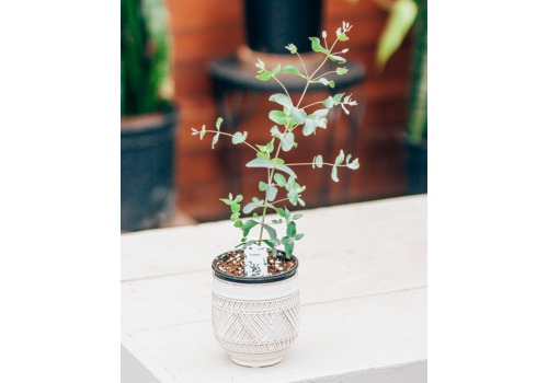Dutch Growers Eucalyptus + Pot Duo