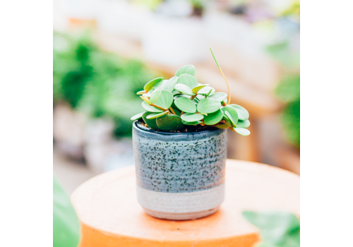Dutch Growers Cutie Patootie Potted Peperomia Hope
