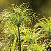 Dutch Growers Grass Graceful Grasses King Tut