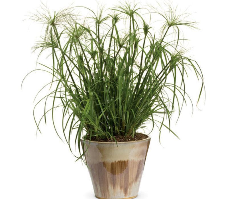 Grass Graceful Grasses King Tut
