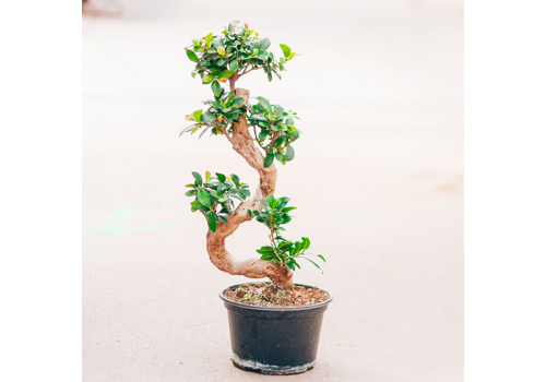 Dutch Growers Ficus Bonsai S Shape