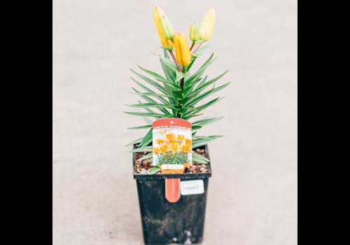 "Lily Asiatic Pot Tiny Dino 5.5"""